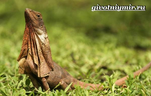 Плащеносная-ящерица-Образ-жизни-и-среда-обитания-плащеносной-ящерицы-2