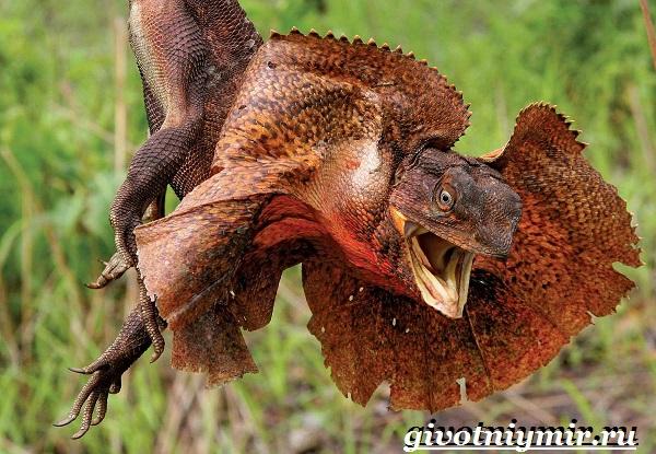 Плащеносная-ящерица-Образ-жизни-и-среда-обитания-плащеносной-ящерицы-3