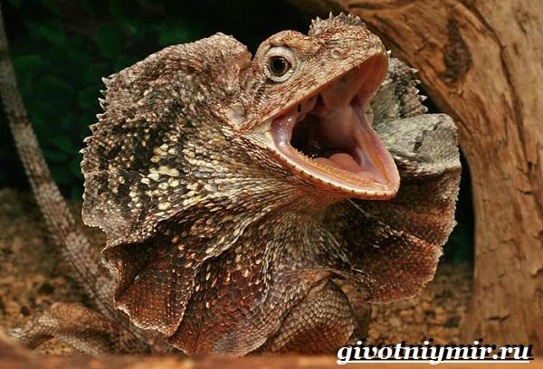 Плащеносная-ящерица-Образ-жизни-и-среда-обитания-плащеносной-ящерицы-4