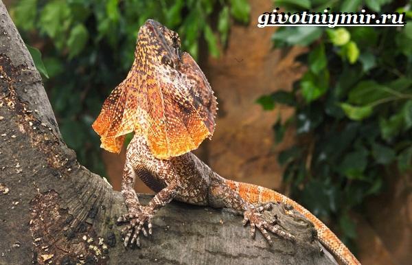 Плащеносная-ящерица-Образ-жизни-и-среда-обитания-плащеносной-ящерицы-5
