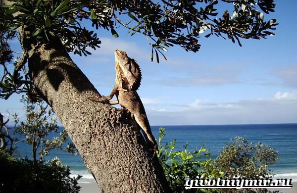 Плащеносная-ящерица-Образ-жизни-и-среда-обитания-плащеносной-ящерицы-6