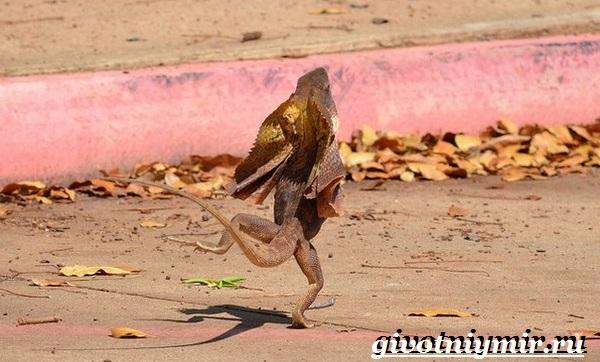 Плащеносная-ящерица-Образ-жизни-и-среда-обитания-плащеносной-ящерицы-7