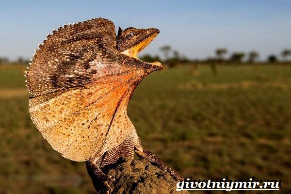 Плащеносная-ящерица-Образ-жизни-и-среда-обитания-плащеносной-ящерицы-8