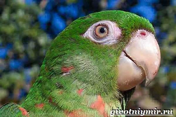 Попугай-аратинга-Образ-жизни-и-среда-обитания-попугая-аратинга-11