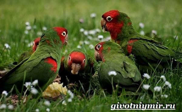 Попугай-аратинга-Образ-жизни-и-среда-обитания-попугая-аратинга-14