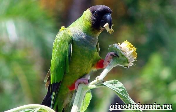 Попугай-аратинга-Образ-жизни-и-среда-обитания-попугая-аратинга-15