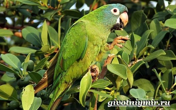 Попугай-аратинга-Образ-жизни-и-среда-обитания-попугая-аратинга-16