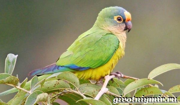 Попугай-аратинга-Образ-жизни-и-среда-обитания-попугая-аратинга-17