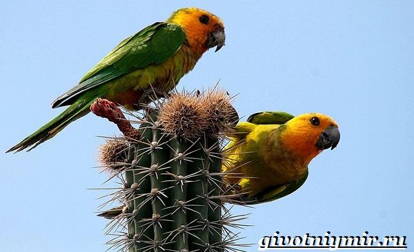 Попугай-аратинга-Образ-жизни-и-среда-обитания-попугая-аратинга-18