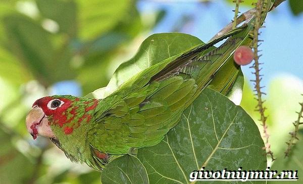 Попугай-аратинга-Образ-жизни-и-среда-обитания-попугая-аратинга-19