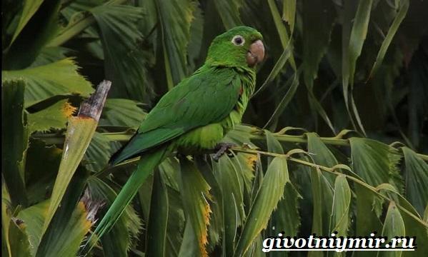 Попугай-аратинга-Образ-жизни-и-среда-обитания-попугая-аратинга-20