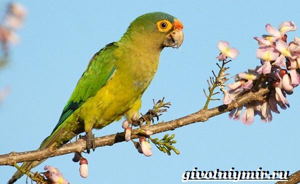 Попугай-аратинга-Образ-жизни-и-среда-обитания-попугая-аратинга-21