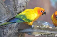 Попугай аратинга. Образ жизни и среда обитания попугая аратинга