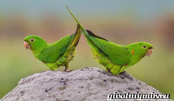Попугай-аратинга-Образ-жизни-и-среда-обитания-попугая-аратинга-5