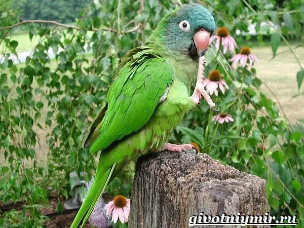 Попугай-аратинга-Образ-жизни-и-среда-обитания-попугая-аратинга-7