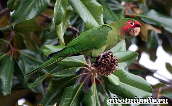 Попугай-аратинга-Образ-жизни-и-среда-обитания-попугая-аратинга-9