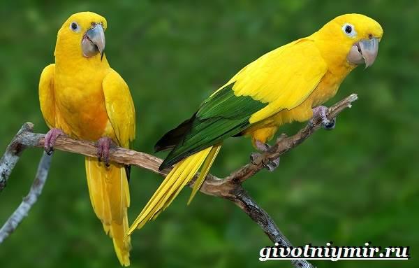 Попугай-аратинга-Образ-жизни-и-среда-обитания-попугая-аратинга