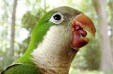 Попугай монах. Образ жизни и среда обитания попугая монаха