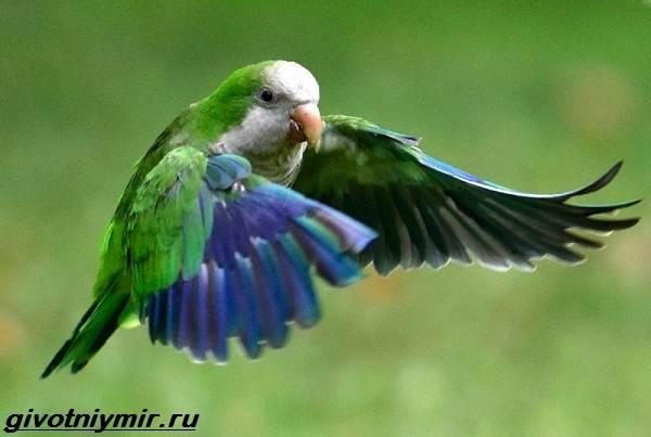 popugaj-monax-obraz-zhizni-i-sreda-obitaniya-popugaya-monaxa-6