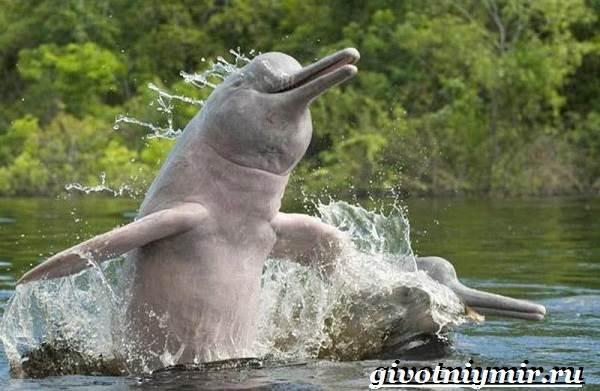 Речной-дельфин-Образ-жизни-и-среда-обитания-речного-дельфина-3