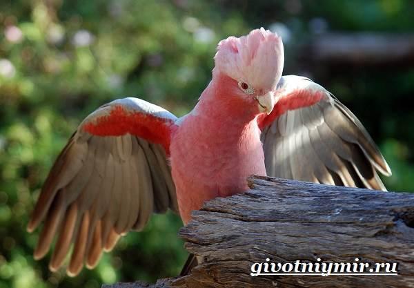 Розовый-какаду-попугай-Образ-жизни-и-среда-обитания-розового-какаду-1