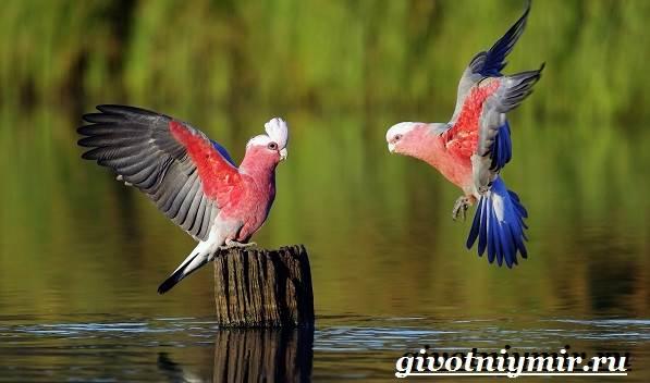 Розовый-какаду-попугай-Образ-жизни-и-среда-обитания-розового-какаду-3