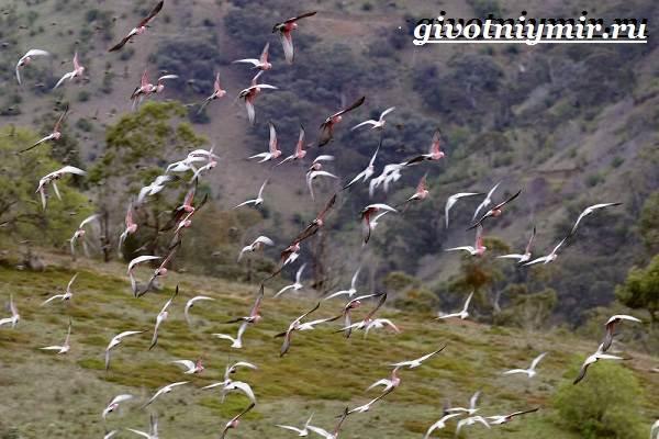 Розовый-какаду-попугай-Образ-жизни-и-среда-обитания-розового-какаду-4