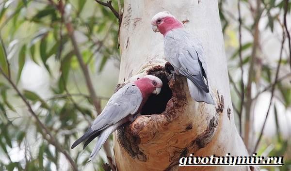 Розовый-какаду-попугай-Образ-жизни-и-среда-обитания-розового-какаду-5