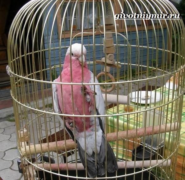 Розовый-какаду-попугай-Образ-жизни-и-среда-обитания-розового-какаду-6