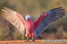 Розовый какаду попугай. Образ жизни и среда обитания розового какаду