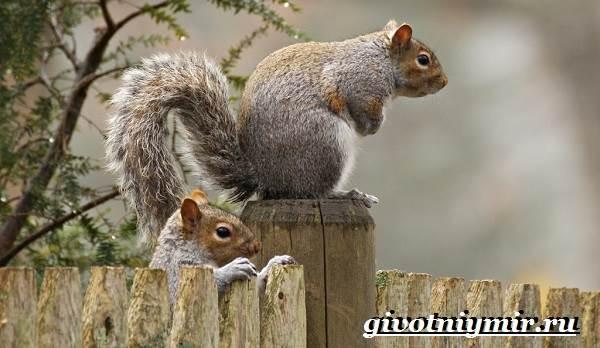 Серая-белка-Образ-жизни-и-среда-обитания-серой-белки-10