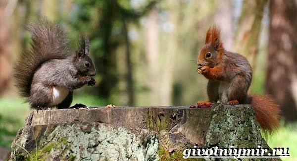 Серая-белка-Образ-жизни-и-среда-обитания-серой-белки-4