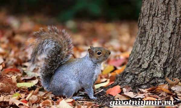 Серая-белка-Образ-жизни-и-среда-обитания-серой-белки-7
