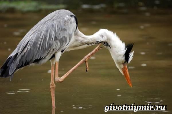 Серая-цапля-Образ-жизни-и-среда-обитания-серой-цапли-18