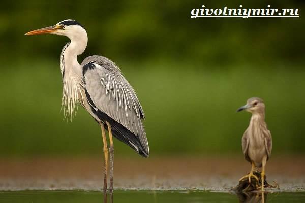 Серая-цапля-Образ-жизни-и-среда-обитания-серой-цапли-5