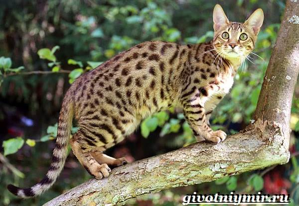 Серенгети-кошка-Описание-особенности-уход-и-цена-кошки-серенгети-1