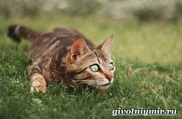 Серенгети-кошка-Описание-особенности-уход-и-цена-кошки-серенгети-10