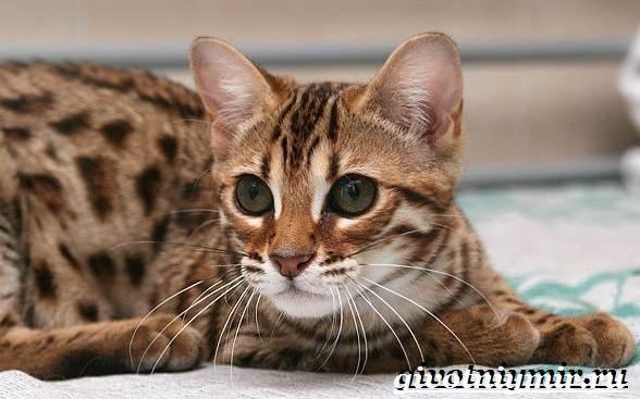 Серенгети-кошка-Описание-особенности-уход-и-цена-кошки-серенгети-4