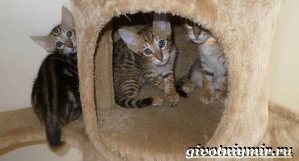 Серенгети-кошка-Описание-особенности-уход-и-цена-кошки-серенгети-7