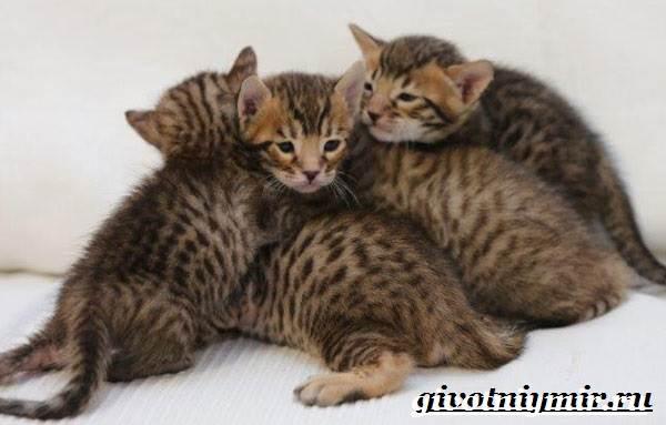 Серенгети-кошка-Описание-особенности-уход-и-цена-кошки-серенгети-8