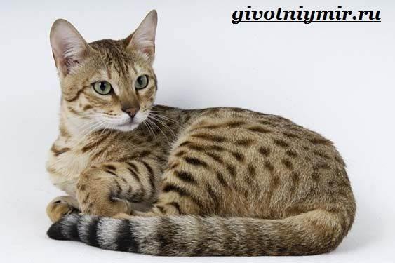 Серенгети-кошка-Описание-особенности-уход-и-цена-кошки-серенгети-9