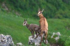 Серна животное. Образ жизни и среда обитания серны