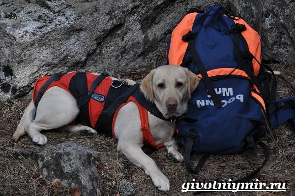 Собака-спасатель-Породы-собак-спасателей-их-описание-особенности-и-обучение-1