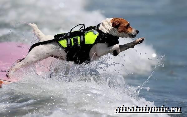 Собака-спасатель-Породы-собак-спасателей-их-описание-особенности-и-обучение-11