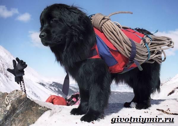 Собака-спасатель-Породы-собак-спасателей-их-описание-особенности-и-обучение-2