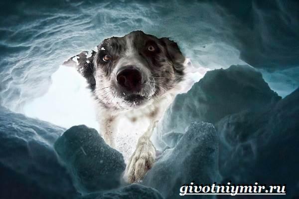 Собака-спасатель-Породы-собак-спасателей-их-описание-особенности-и-обучение-3
