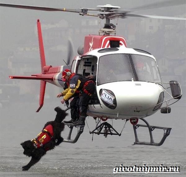Собака-спасатель-Породы-собак-спасателей-их-описание-особенности-и-обучение-6