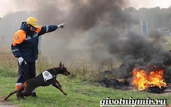 Собака-спасатель-Породы-собак-спасателей-их-описание-особенности-и-обучение-7