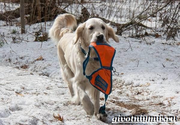 Собака-спасатель-Породы-собак-спасателей-их-описание-особенности-и-обучение-8