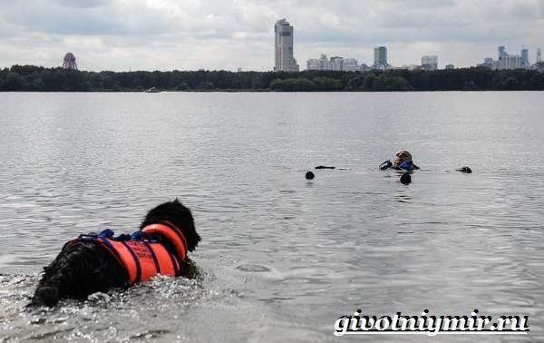Собака-спасатель-Породы-собак-спасателей-их-описание-особенности-и-обучение-9